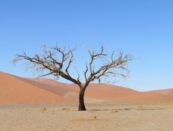 A camel thorn tree at Sossusvlei, Namibia. Shot taken in December 2019.