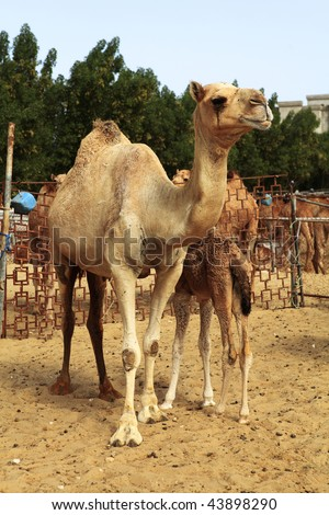 A camel with her calf in a pen at the livestock market in Doha, Qatar