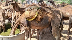 A camels group going on desert landscape. Camels drinking water from a water tank India. Camel herd