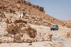 a canaan dog with no leash posing on a hill in a desert nature reserve in Israel with an offroad vehicle, cliffs, and a hazy blue sky in the background