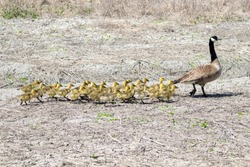 A Canada Goose and her young walk across a field at Market Lake, Idaho