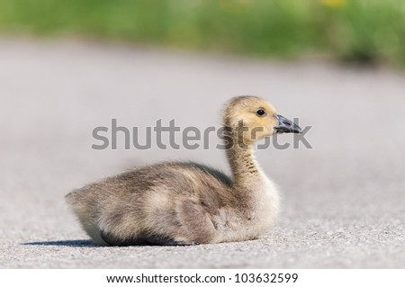 A Canada goose gosling sits on a footpath in a public park. - stock photo