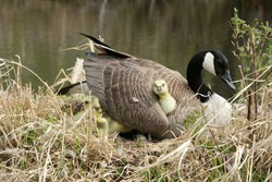 A Canada Goose gosling under its mother's wing in Winnipeg, Manitoba, Canada