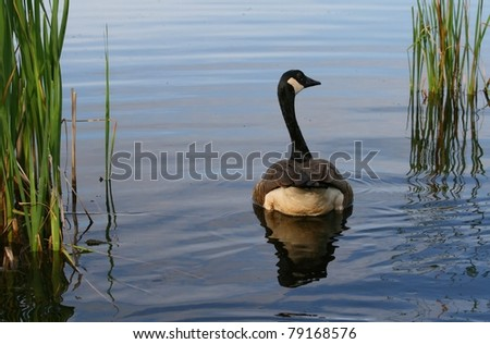 Canada Goose montebello parka sale official - A Canada Goose In The Stony Swamp Conservation Area Of Ottawa ...