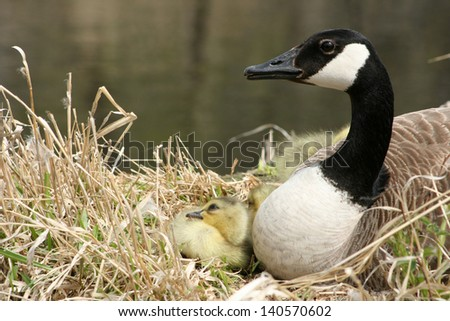 A Canada Goose sitting on a nest with her gosling next to a lake in spring in Winnipeg, Manitoba, Canada