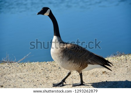 A Canada goose waddles near the water's edge, making sure to honk incessantly at me as he walked on by. Location: Bolsa Chica Ecological Reserve in Huntington Beach, CA.