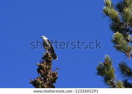 a Canada jay or Gray Jay #1232605291