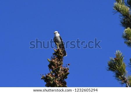 a Canada jay or Gray Jay #1232605294
