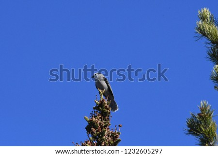 a Canada jay or Gray Jay #1232605297
