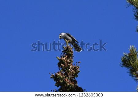 a Canada jay or Gray Jay #1232605300