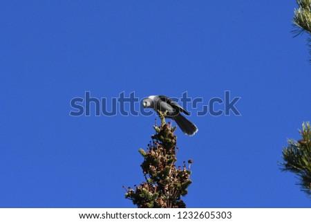 a Canada jay or Gray Jay #1232605303
