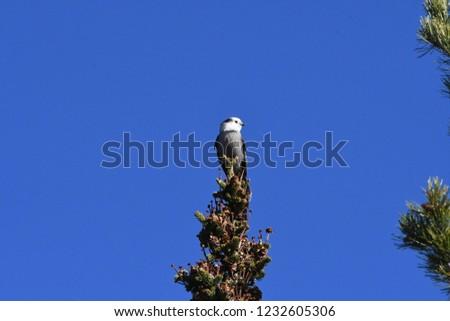 a Canada jay or Gray Jay #1232605306