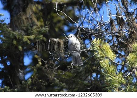a Canada jay or Gray Jay #1232605309