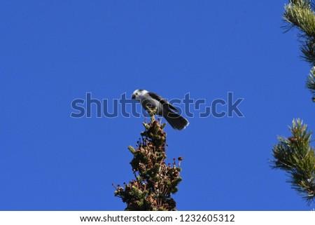 a Canada jay or Gray Jay #1232605312