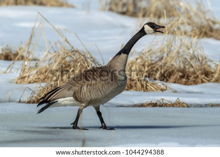A Canadian goose walking on ice makes some noise in Hauser, Idaho.