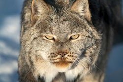 A Canadian lynx seen in wilderness, natural landscape with full face directly staring at camera in complete focus.