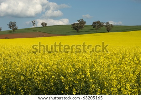 A Canola crop, in full Spring flower, near Cootamundra, New South Wales, Australia