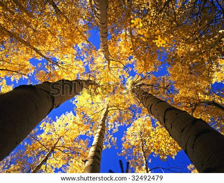 A canopy made from the branches & leaves of aspen trees, photographed during the autumn season.