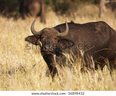 A Cape Buffalo (syncerus caffer) getting an eye cleaning from an African Oxpecker (buphagus africanus). African Buffalo and oxpeckers live in symbiosis.