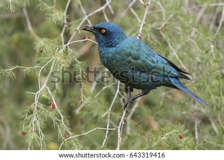 A Cape glossy starling eating bright red berries from a wild bush #643319416