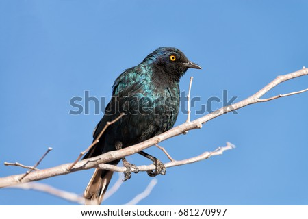 A Cape Glossy Starling (Lamprotornis nitens) is perched on a branch in Etosha National Park, Namibia #681270997