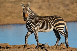 A Cape mountain zebra (Equus zebra) at a waterhole, Mountain Zebra National Park, South Africa