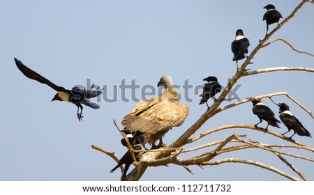 A Cape Vulture perched in a tree with a lot of crows with one flying away