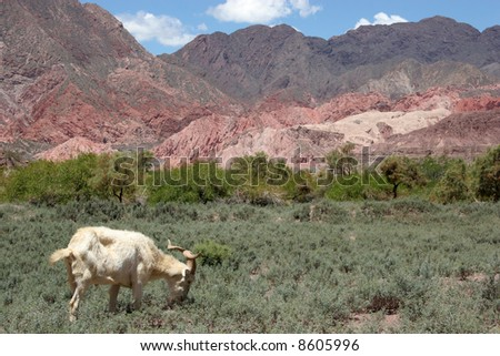 A capricorn enjoying life in the mountains in northern Argentina - stock photo