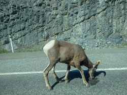 a capricorn on the street in canada outside the city