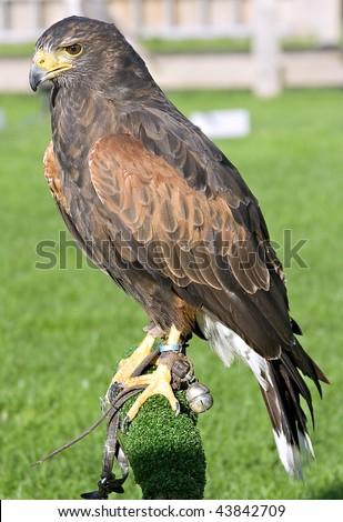 A captive Harris Hawk standing on a perch