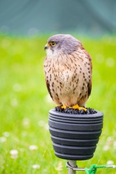 A captive kestrel perches on a falconer's block and is looking right