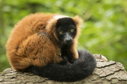 A captive red ruffed lemur (Varecia rubra) leaning on a tree trunk, in a forest. These primates are native to the rainforests of Masoala, in the northeast of the island Madagascar.