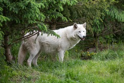A captive white wolf stands among pine trees and grass.