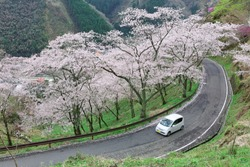 A car driving on a curvy highway winding up the hill with flourishing cherry blossom trees ( sakura ) by the roadside in Miyasumi Park, Okayama, Japan ~Beautiful spring scenery of Japanese countryside