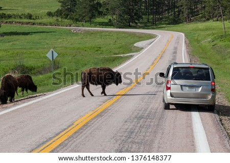 A car full of tourists stopped to take pictures of a bison crossing the road with his tongue sticking out.