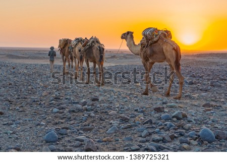 A caravan of dromedaries transporting salt guided by an Afar man in the Danakil Depression in Ethiopia