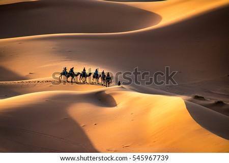 A caravan walking through the golden sand dunes of Erg Chebbi near Merzouga in Morocco, Sahara, Africa