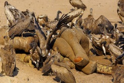 A carcass of a large elephant and a large crocodile by a river under siege by a flock of white backed vultures. A typical African scavenger feast.White-backed vultures (Gyps africanus) near carcass.