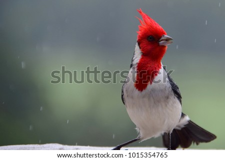 A cardinal poses as a good model for a photo shoot in the rain.