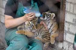 A caretaker feeds the tiger cubs milk from a bottle.