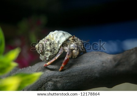 A Caribbean land hermit crab (coenobita clypeatus) with a green shell climbing on a tree branch - stock photo