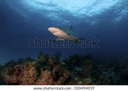 A Caribbean reef shark swimming over a reef in the Bahamas