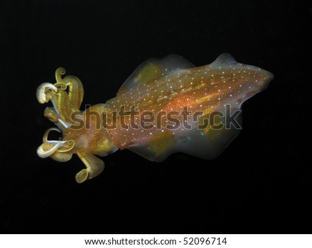 A Caribbean Reef Squid Hovers over Dangleben's Pinnacles on the Island of Dominica