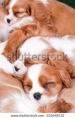A carpet from puppies of a  King Charles Spaniel