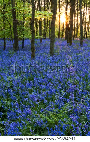 A carpet of bluebells at the height of their bloom at Cowleaze wood, Oxfordshire, with the spring sun setting in the background.
