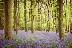 A carpet of bluebells in a wood, Surrey, England