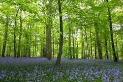 A carpet of bluebells in the green woods