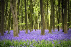 A carpet of bluebells in the woods, Hampshire, UK