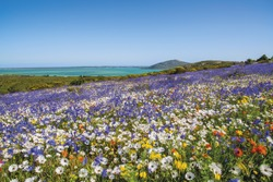 A carpet of flowers cover the fields along the Western Cape Coast after the winter rains in South Africa