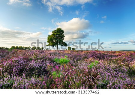 A carpet of purple heather in the New Forest National Park in Hampshire